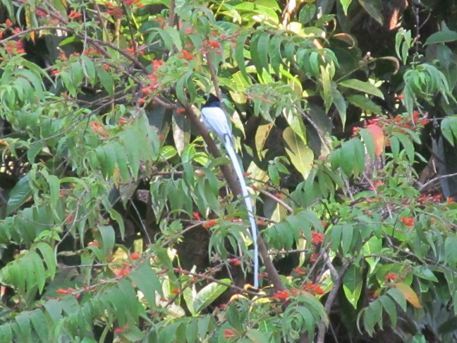 The unusual bird with blue aura.. a rare sight on the way back from Datta Tapovan.