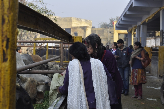 Beautiful seva for cows who selflessly give what they have