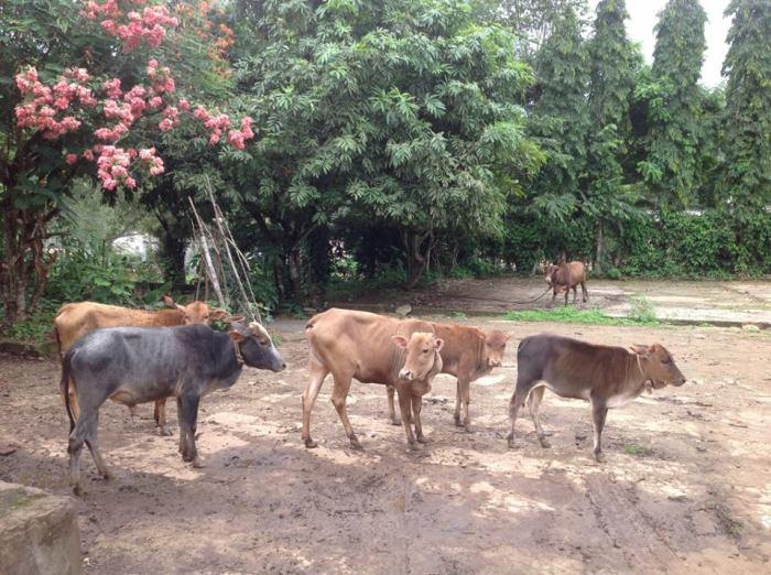 Kasargod Dwarf-Desi cow breed