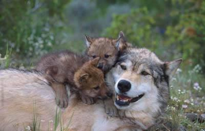 Wolf and cubs who visited the Homa site