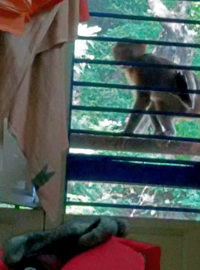 Monkey vying for attention outside Govindanandaji's window