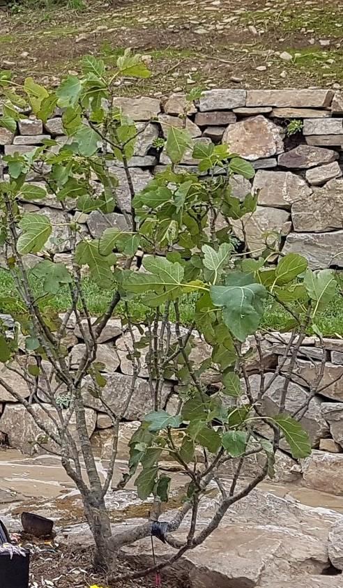 fig tree.jpg