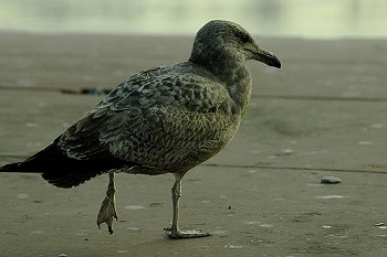 hurt_bird_350