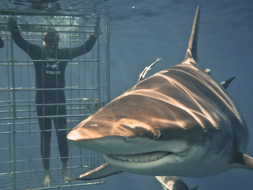 Mohanji Chronicles Blog - Timeless Leelas - Shark cage diving in Durban